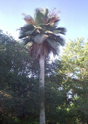 Carnauba Palm Picture